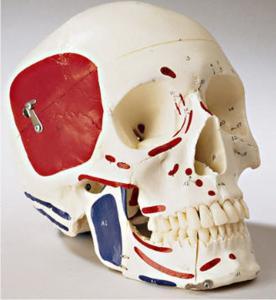 Denoyer-Geppert® Premier Skulls