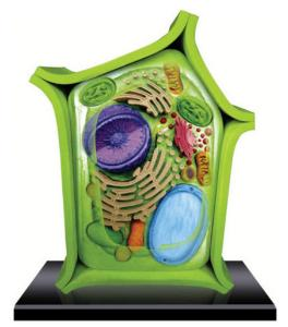 4D Plant Cell Model