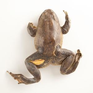Freeze-Dried Bullfrogs