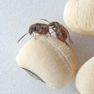 Live Bean Beetles (<italic>Callosobruchus maculatus</italic>)