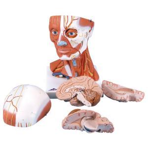 3B Scientific® Head And Neck Musculature