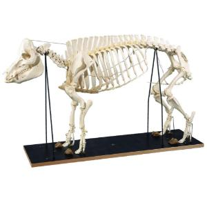 3B Scientific® Pig Skeleton