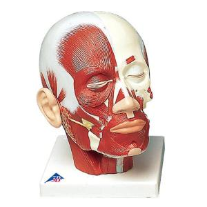3B Scientific® Head And Neck Musculature Models