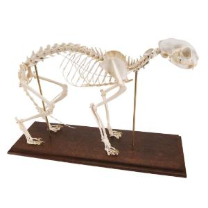 3B Scientific® Rigid Cat Skeleton