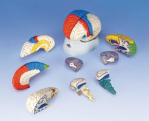 3B Scientific® Neuro-Anatomical 8 Part Brain