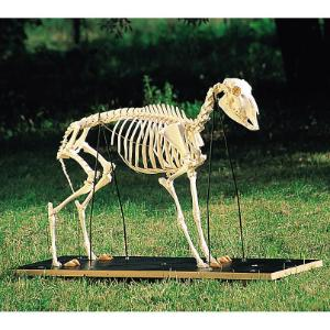 3B Scientific® Sheep Skeleton