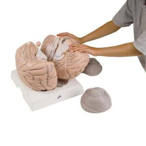 3B Scientific® Giant Brain