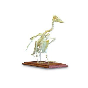 3B Scientific® Goose Skeleton