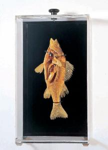 Ward's® Freeze-Dried Perch Museum Mount
