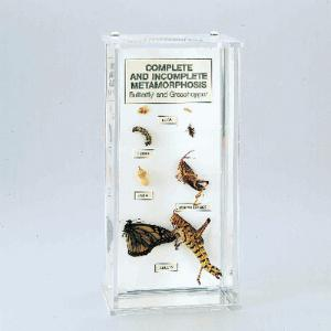 Complete and Incomplete Metamorphosis Museum Mount