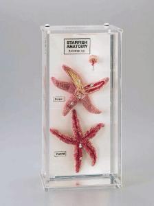 Ward's® Starfish Anatomy Museum Mount
