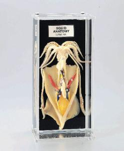 Squid Anatomy Museum Mount