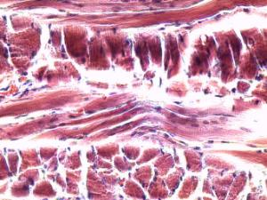 Striated Muscle Slide