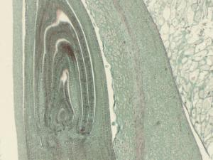 Zea, Kernel & Embryo Slide