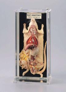 Rat Anatomy Museum Mount