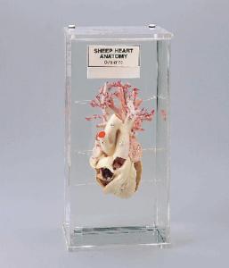 Heart Anatomy Museum Mount