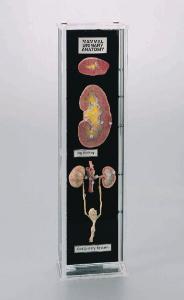 Ward's® Mammalian Urogenital Anatomy Museum Mount