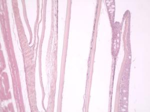 Animal Skin, Composite, section, hematoxylin & eosin stained slides