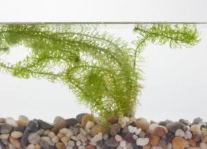 Ward's® Live <italic>Egeria najas</italic> Aquatic Plants
