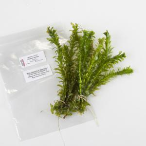 Ward's® Live <i>Elodea densa</i> Aquatic Plants