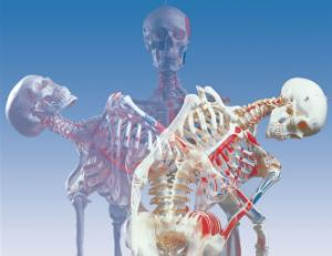 3B Scientific® Flexible Ligamentary Painted Skeleton