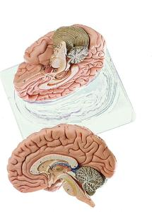 Somso® Brain