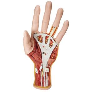 3B Scientific® Internal Hand Structure Model