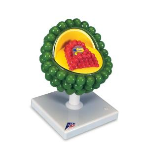 3B Scientific® HIV Viron