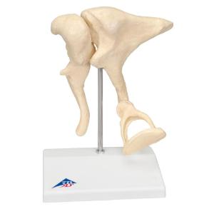 3B Scientific® Ossicle Models