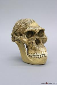 "<i>A. africanus</i> Sts 5 (""Mrs. Ples"") with Jaw"