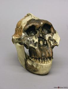 <i>A. boisei</i> OH 5 (Zinjanthropus) with Jaw