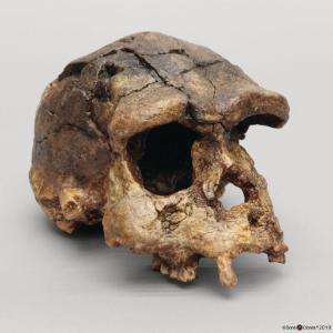 <i>H. erectus</i> (Sangiran 17)