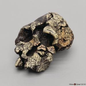 <i>Kenyanthropus platyops</i> KNM-WT-40000
