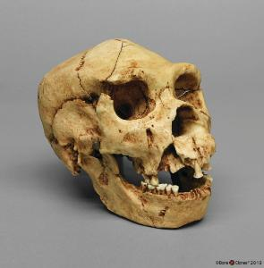 <i>H. heidelbergensis</i> (Atapuerca 5)
