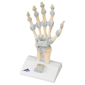3B Scientific® Ligaments of the Hand and Carpal Tunnel