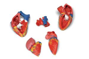 3B Scientific® Magnetic Heart Model