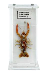 Crayfish anatomy M=museum mount