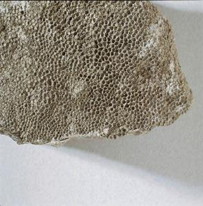 Favosites sp. (Devonian)