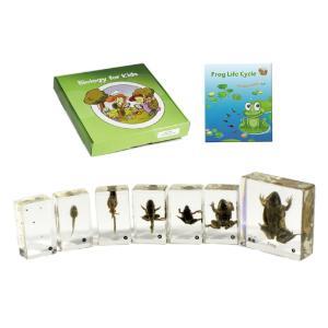 Realbug Kids Frog Life Cycle