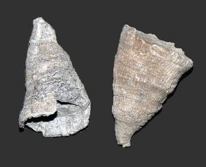 Stereolasma rectum (Devonian)