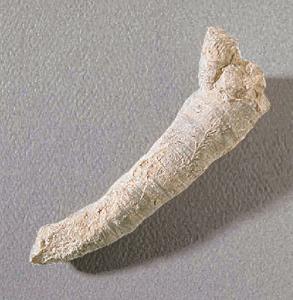 Tabulophyllum sp. (Mississippian)