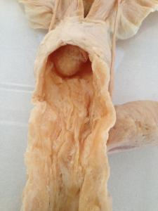 Plastinated Equine Urogenital Systems