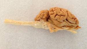 Plastinated Sheep Brain