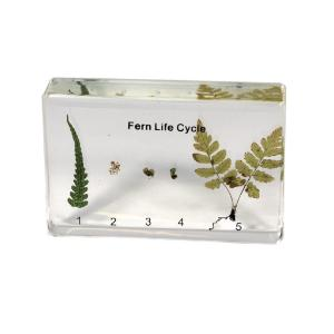 Realbug Fern Life Cycle