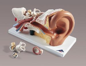 3B Scientific® Classic Giant Ear
