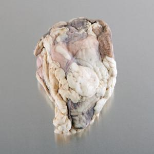 Preserved Sheep Heart with Pericardium