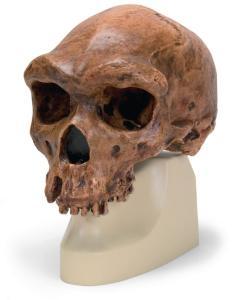 Replica Homo rhodesiensis Skull