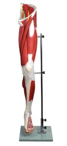 Human leg musculature model