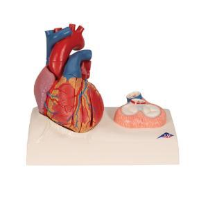 Magnetic Heart Model