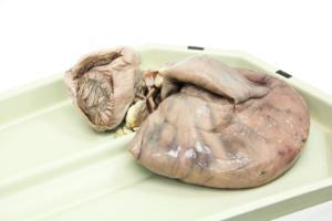Beef Uterus Pregnant